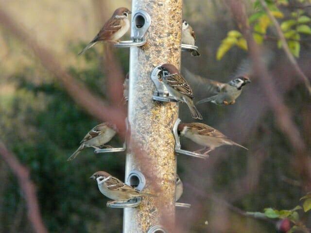 Feeder Full of Sparrows