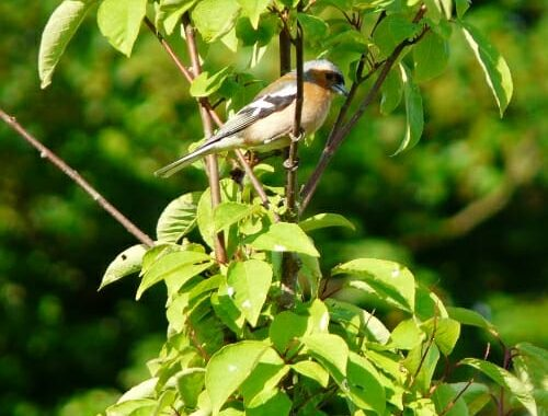 Chaffinch in the Bird Cherry