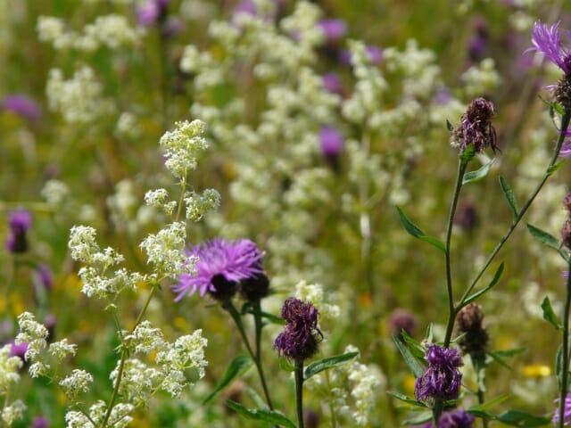Knapweed and Bedstraw
