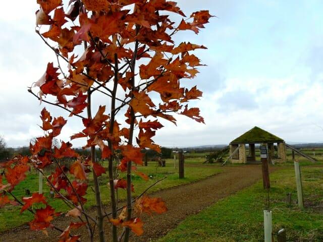Autumn colour of the Wild Service Tree