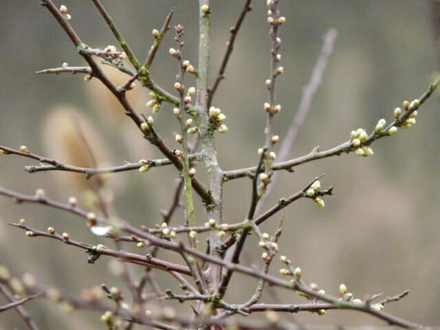 Flowerbuds on the Blackthorn