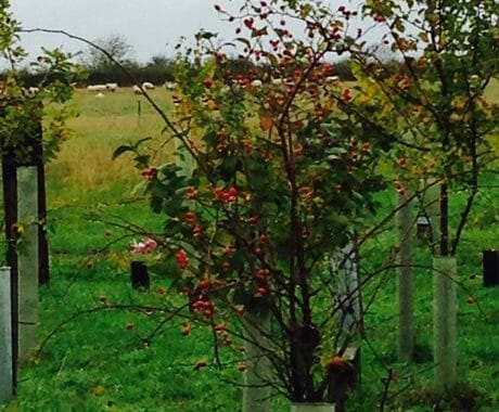 Rose Hips and Sheep Grazing