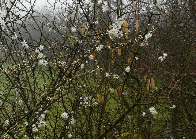 Blackthorn and Catkins