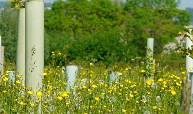 Buttercups beneath memorial saplings