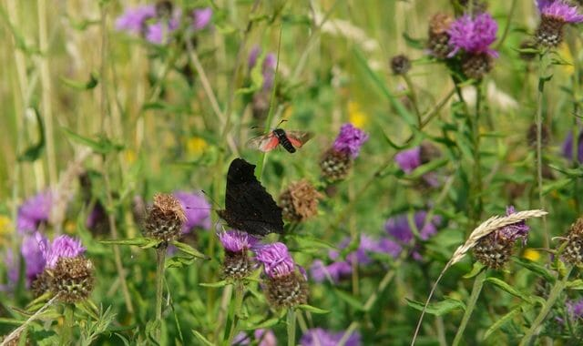 Peacock with 6 Spot Burnet Moth
