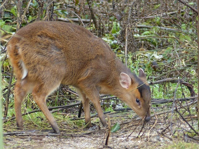 Muntjac eating Birdseed