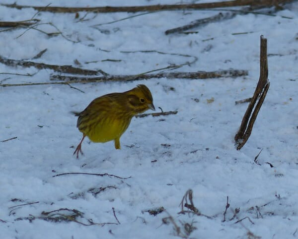 Yellowhammer searching for food in the snow