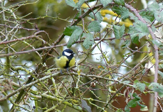 Great Tit in the Wind