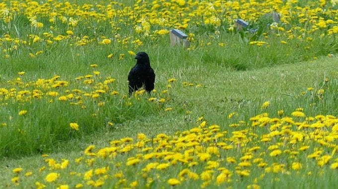 Crow amidst the Dandelions