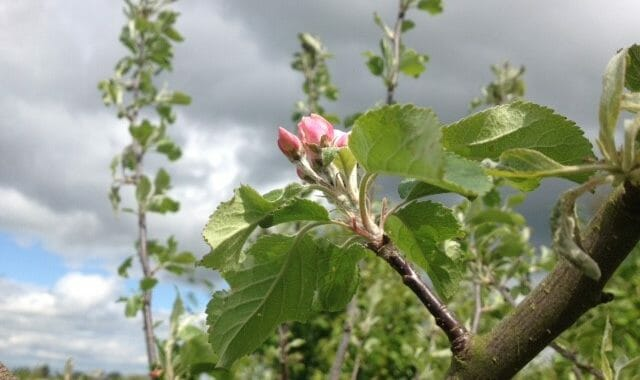Crab Apple Blossom at Sun Rising