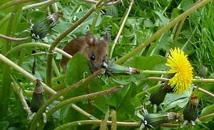 Mouse in Dandelions