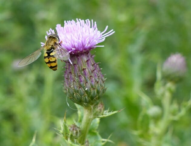 Common Banded Hoverfly on Creeping Thistle Flower