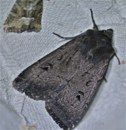 Double Dart Moth