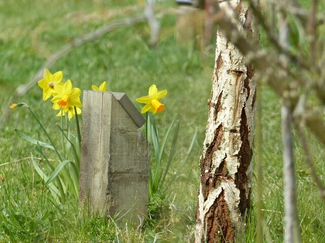 Daffodils and Birch