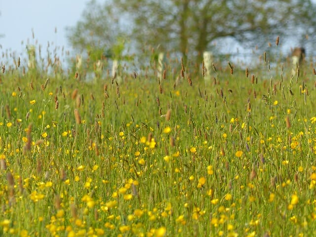Buttercups and foxtails with young memorial trees behind