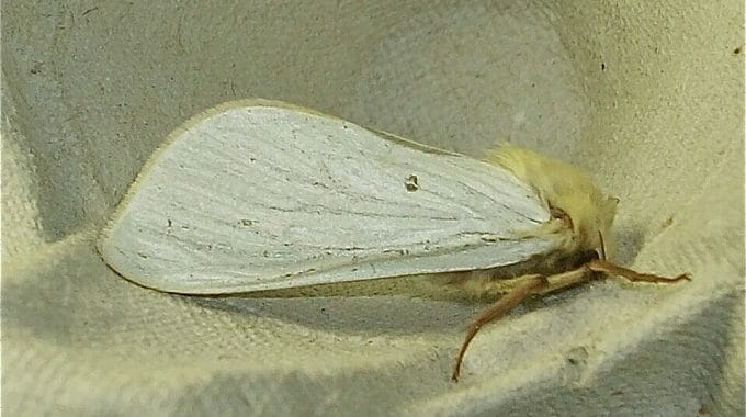 Male Ghost Moth (photo taken at Sun Rising by Alan Prior)