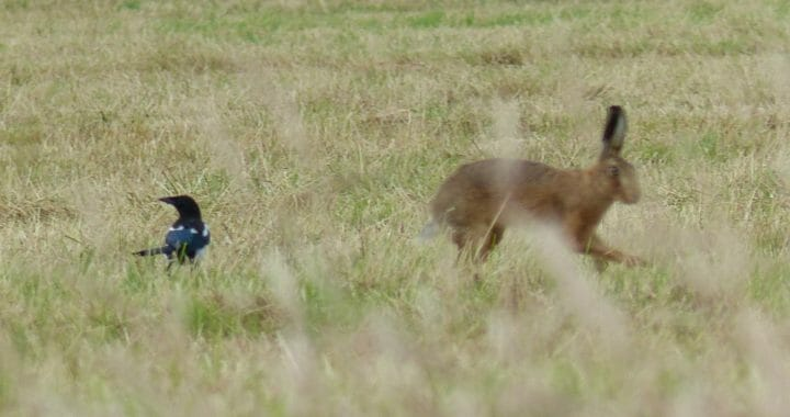 Magpie meets hare, then they go on their way