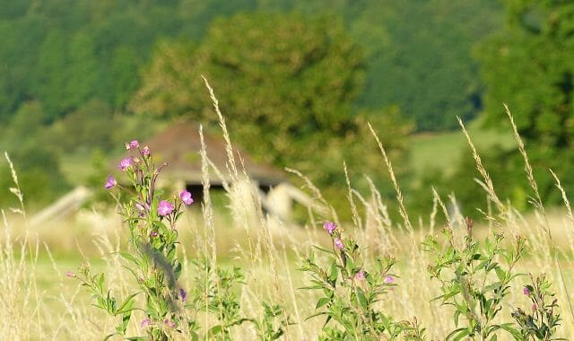 Great Willowherb, the Roundhouse and Sun Rising Hill