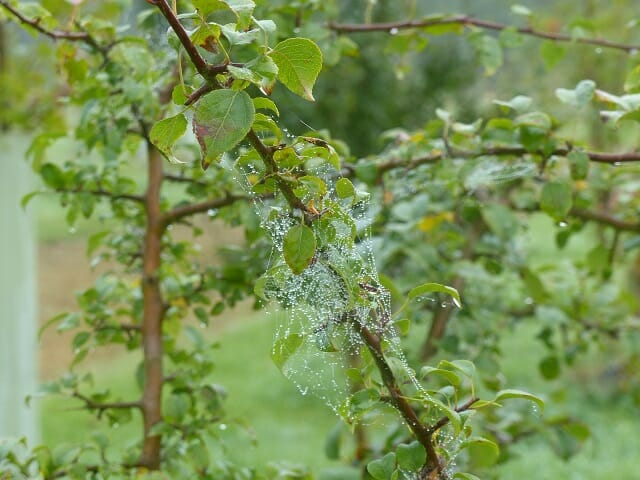 Rainy Spider's Web on Crab Apple