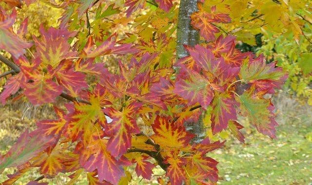 Wild Service Tree in Autumn Colour