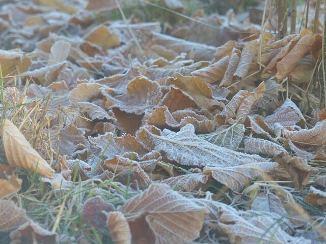 Frosty Leaves in Young Woodland