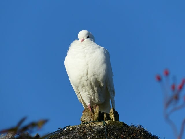 White Dove on the Roundhouse