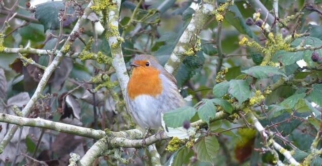 Robin amidst Lichen