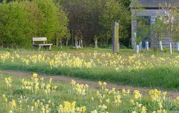Cowslips at Sun Rising
