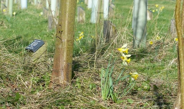 Lent Lilies beneath Memorial Trees