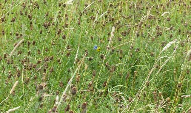 Common Blue in the Seeding Wildflower Meadow