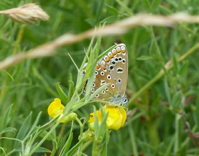 Common Blue on Meadow Vetchling