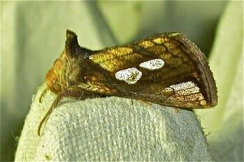 Gold Spot Moth recorded at Sun Rising Moth Night 2017