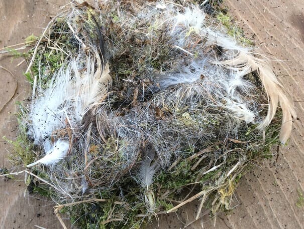 Nesting Material from Tree Sparrow Box at Sun Rising