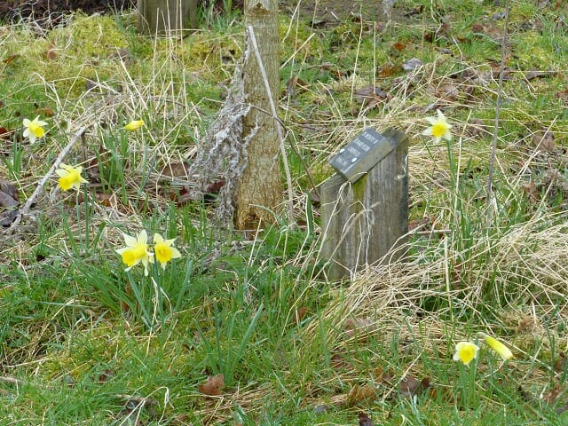 Native Daffodils in Memorial Woodland