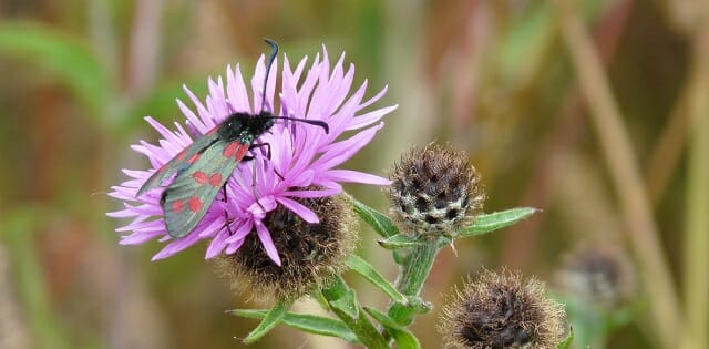 Six Spot Burnet Moth on Knapweed