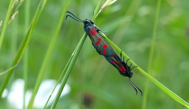 Six Spot Burnet Moths Mating