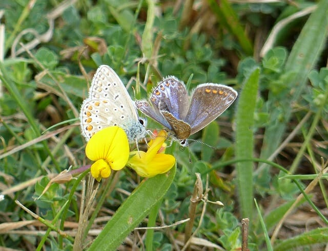 Male and Female Common Blue Butterflies on Birdsfoot Trefoil