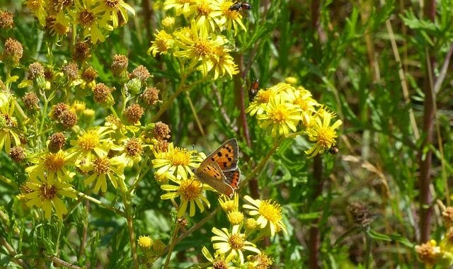 Common Ragwort, Small Copper and Various Flies