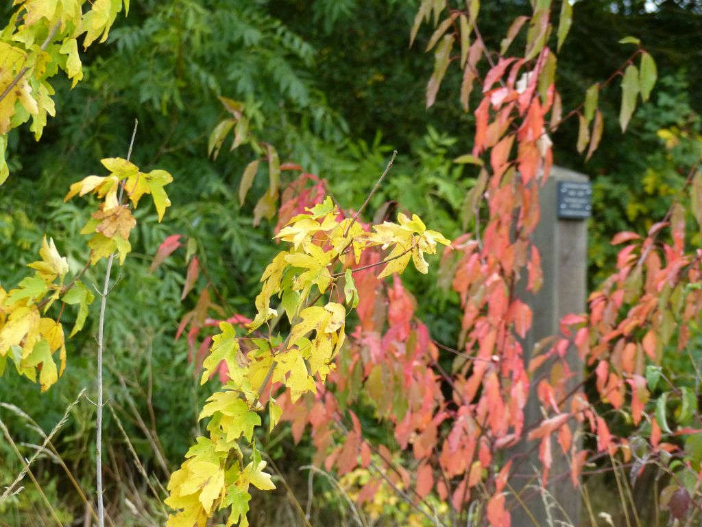 Field Maple and Bird Cherry with Autumn Leaf Colour  at Sun Rising Natural Burial Ground and Nature Reserve