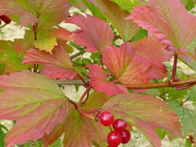 Guelder Rose Berries at Sun Rising Natural Burial Ground and Nature Reserve