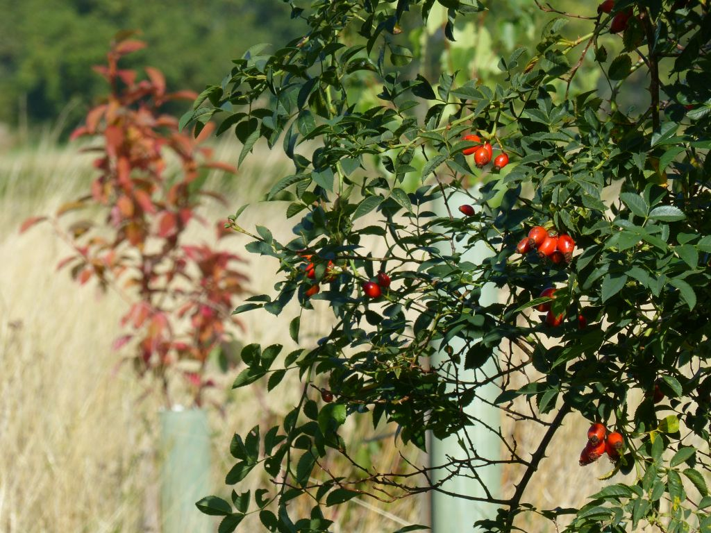 Dog Rose Hips and Autumn Bird Cherry at Sun Rising Natural Burial Ground and Nature Reserve