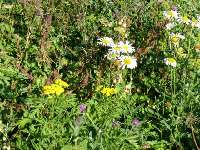 Tansy, Oxeye Daisies, Knapweeds and other Wildflowers at Sun Rising Natural Burial Ground and Nature Reserve