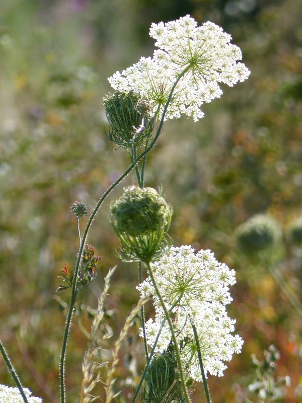 Wild Carrot at Sun Rising Natural Burial Ground and Nature Reserve