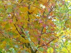 Wild Service Tree Autumn Leaf Colour at Sun Rising Natural Burial Ground and Nature Reserve