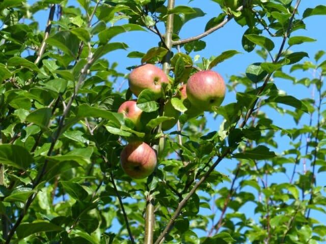 Crab Apples at Sun Rising Natural Burial Ground and Nature Reserve