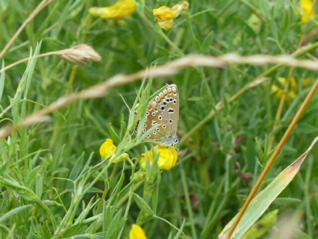 Common Blue Butterfly on Meadow Vetchling at Sun Rising Natural Burial Ground and Nature Reserve