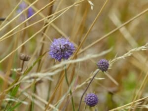 Devilsbit Scabious at Sun Rising Natural Burial Ground and Nature Reserve