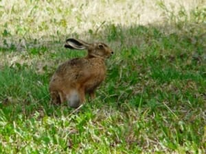 Brown Hare at Sun Rising Natural Burial Ground and Nature Reserve