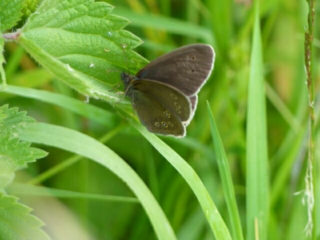 Ringlet Butterfly at Sun Rising Natural Burial Ground and Nature Reserve