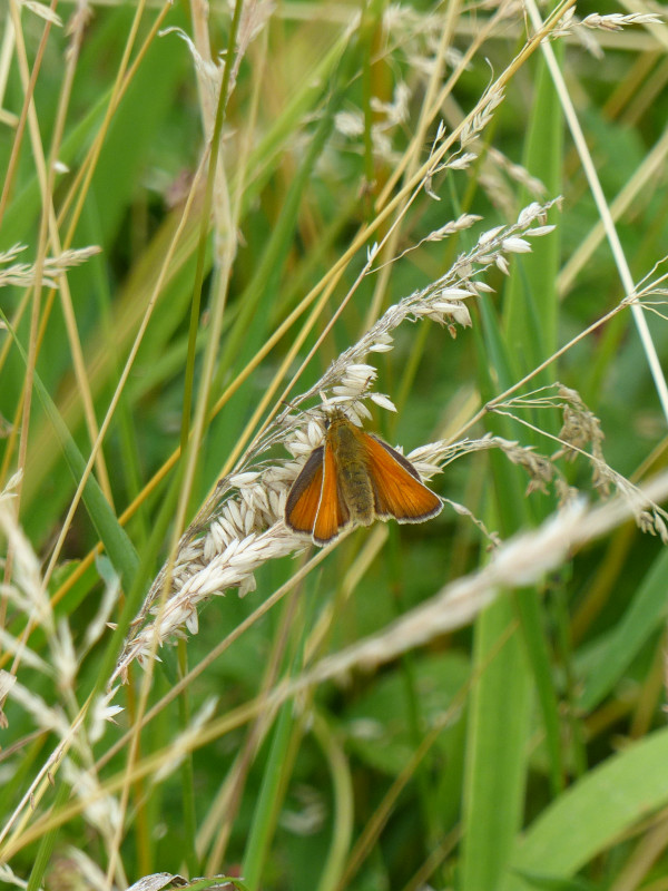 Small Skipper Butterfly at Sun Rising Natural Burial Ground and Nature Reserve
